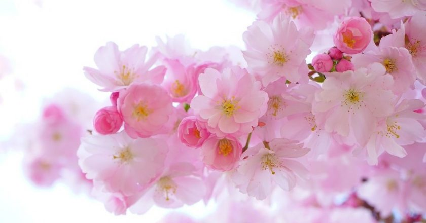 http://www.visiontimes.com/2015/03/07/its-sakura-time-in-japan-see-cherry-blossoms-and-stay-in-ryokans-instead-of-hotels.html?photo=1